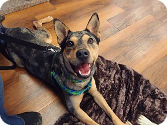 Australian Cattle Dog Mix Dog for adoption in Wilmington, Massachusetts - Nooka; social boy! (PA)