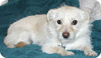 Terrier (Unknown Type, Small)/Norfolk Terrier Mix Dog for adoption in Temecula, California - Emmy-lu