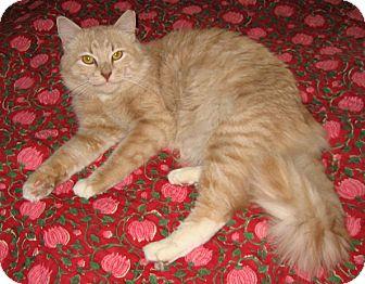 Domestic Mediumhair Cat for adoption in Brooklyn, New York - Tracks