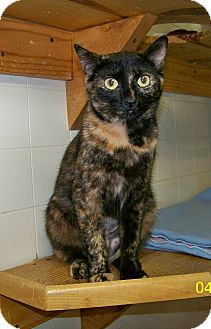 Domestic Shorthair Cat for adoption in Dover, Ohio - Kelly