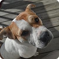 Adopt A Pet :: Peaches - Raleigh, NC