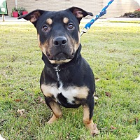 Adopt A Pet :: Loki - Knoxville, TN