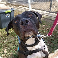 American Pit Bull Terrier/Labrador Retriever Mix Dog for adoption in Hawthorne, California - Hugo