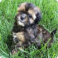 Adopt A Pet :: Chewy, Wicket, Lando - Fairview Heights, IL
