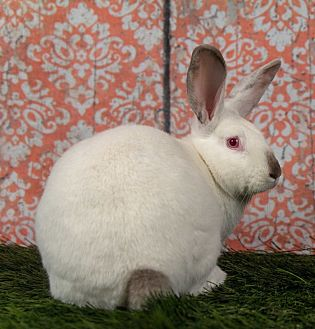 Californian for adoption in San Diego, California - Jingle - Bonded to Jolly