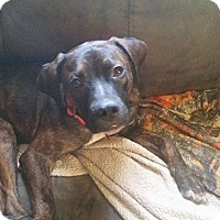 Boxer Mix Dog for adoption in Covington, Tennessee - Harley