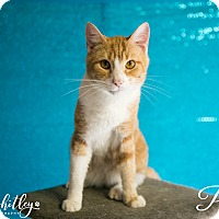 Domestic Shorthair Cat for adoption in Columbia, Tennessee - Puma