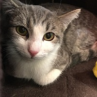 Adopt A Pet :: La Belle - Yorba Linda, CA