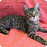 Adopt A Pet :: Chaplin - Greensboro, NC