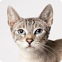 Siamese Cat for adoption in Pt. Richmond, California - SNOW WHITE