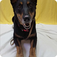 Shepherd (Unknown Type)/Mixed Breed (Large) Mix Dog for adoption in Hawk Point, Missouri - Koda