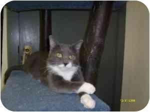 Domestic Shorthair Cat for adoption in Milwaukee, Wisconsin - Esmeralda