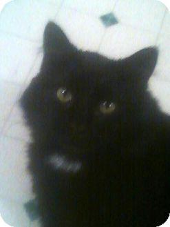 Domestic Longhair Cat for adoption in Fairborn, Ohio - GG