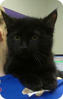 Domestic Mediumhair Kitten for adoption in Richboro, Pennsylvania - Chris Brown