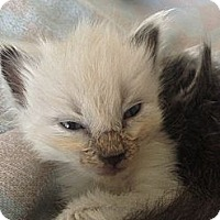 Adopt A Pet :: Sugar - Shreveport, LA