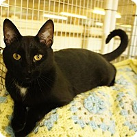 Domestic Shorthair Cat for adoption in East Smithfield, Pennsylvania - Chewie