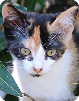 Calico Kitten for adoption in cupertino, California - Pandora -- $50.00 adoption fee