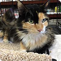 Calico Cat for adoption in Pasadena, California - Calli