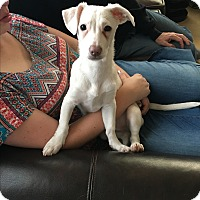 Jack Russell Terrier/Dachshund Mix Puppy for adoption in Brea, California - Ned