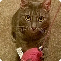 American Shorthair Cat for adoption in Brooklyn, New York - Cagney
