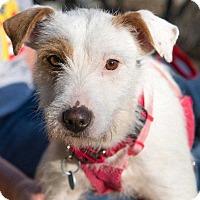 Adopt A Pet :: Tova - Washington, DC