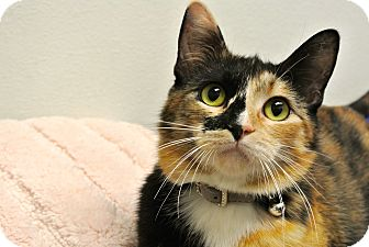Calico Cat for adoption in Foothill Ranch, California - Tia