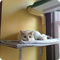 Adopt A Pet :: Sonata - Lancaster, MA