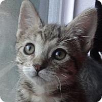 Adopt A Pet :: Pebbles - Escondido, CA