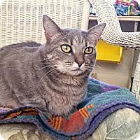 Domestic Shorthair Cat for adoption in Mountain Center, California - Polly Ann