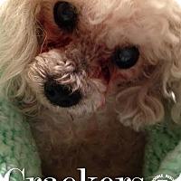 Adopt A Pet :: Crackers - Essex Junction, VT
