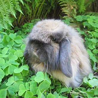 American Fuzzy Lop for adoption in Seattle c/o Kingston 98346/ Washington State, Washington - Monroe