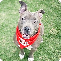 American Staffordshire Terrier/American Pit Bull Terrier Mix Dog for adoption in Santa Monica, California - Choco