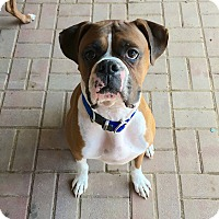 Adopt A Pet :: Scout - Westminster, MD