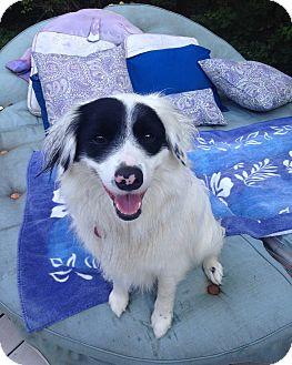 Border Collie Mix Dog for adoption in Sagaponack, New York - Sassy