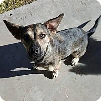 Adopt A Pet :: Pema - El Paso, TX