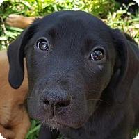 Labrador Retriever Puppy for adoption in Spring, Texas - Bindi