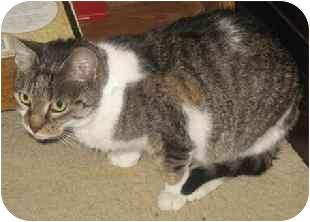 Domestic Shorthair Cat for adoption in Medford, Massachusetts - mrs. Beaumon