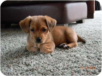 Adopt a golden retriever puppy michigan