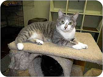 Domestic Shorthair Cat for adoption in Bartlett, Illinois - Tommy