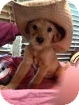 Terrier (Unknown Type, Small) Mix Puppy for adoption in Manchester, Connecticut - Snoopy