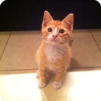 Domestic Shorthair Kitten for adoption in Long Beach, New York - Tommy