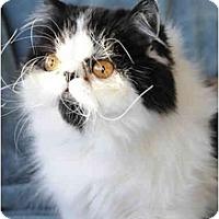 Adopt A Pet :: Stache - Columbus, OH