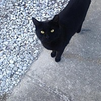 Domestic Shorthair Cat for adoption in St. Cloud, Florida - Black Ice