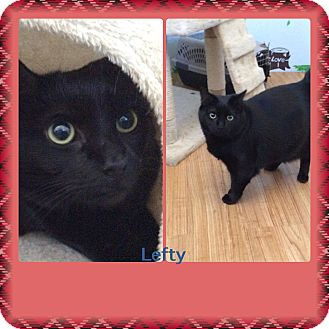 American Shorthair Cat for adoption in Brownsville, Texas - Lefty