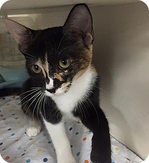 Calico Cat for adoption in La Canada Flintridge, California - Patches