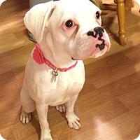 Adopt A Pet :: Noelle Star - Dayton, OH