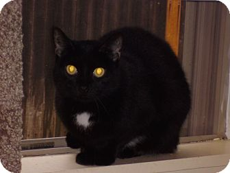 Domestic Shorthair Cat for adoption in FORT WORTH, Texas - Julie