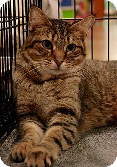 Domestic Shorthair Cat for adoption in Sacramento, California - Ramsey