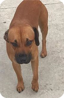 Coonhound (Unknown Type)/Beagle Mix Dog for adoption in Tampa, Florida - Bane