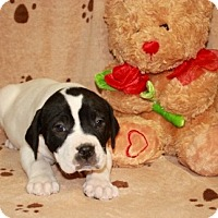 Adopt A Pet :: Gronk - Salem, NH